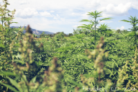 Two Colleges Join New York's Industrial Hemp Farming Program